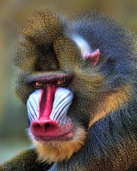 _MG_8956 mandrill.jpg